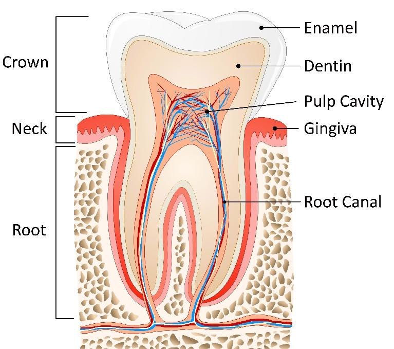 Summerville SC Root Canals